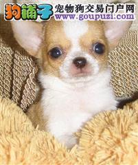 精品吉娃娃幼犬 健康质保 十佳犬舍