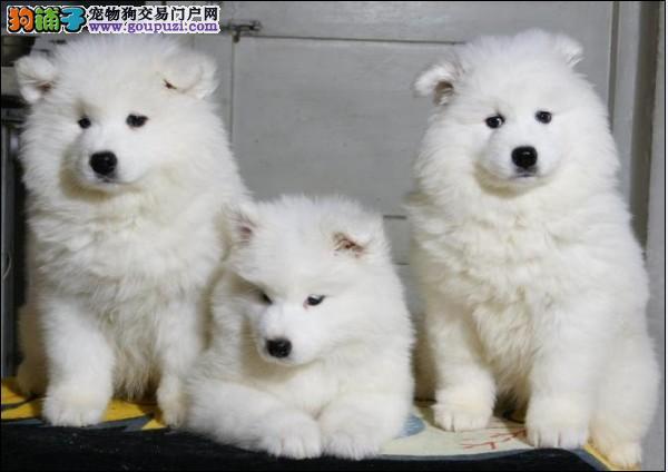 澳熊版萨摩耶微笑白天使、骨量大、毛量多、萌萌哒