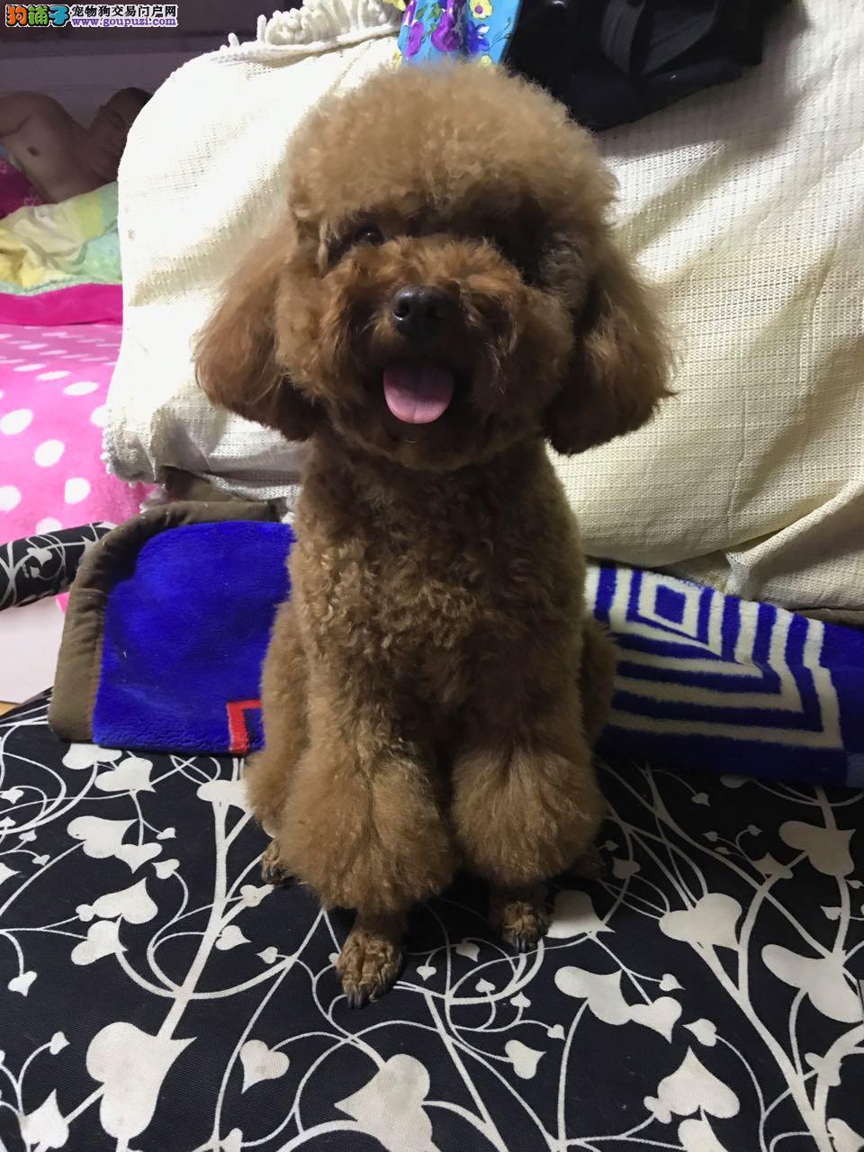 我心爱的小宠狗孩,黄色小泰迪今年2岁零4个月