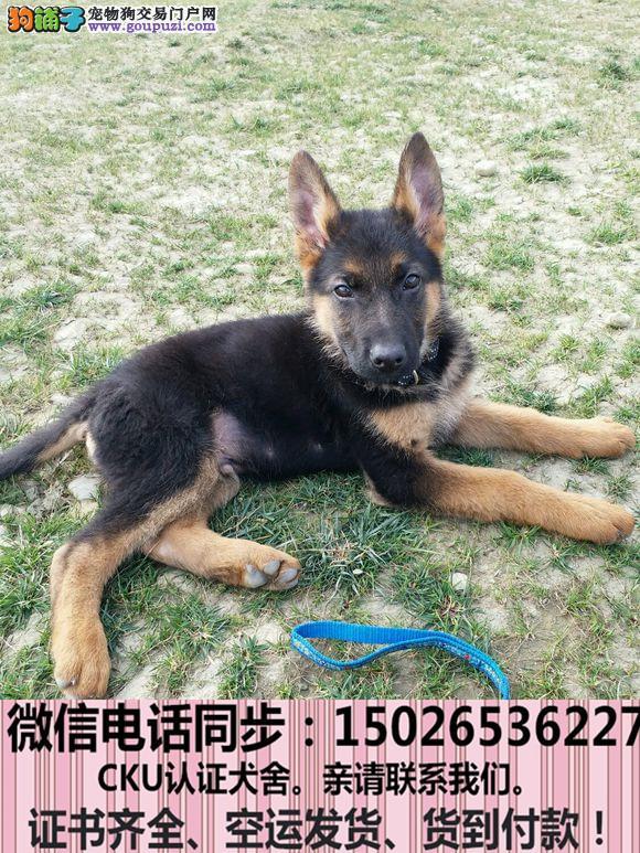 实拍现货视频一狼狗幼犬保健康保纯种签购犬协议