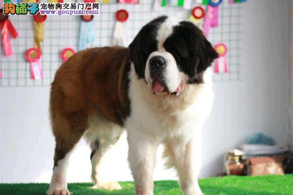 实拍现货视频一圣伯纳幼犬保健康保纯种签购犬协议