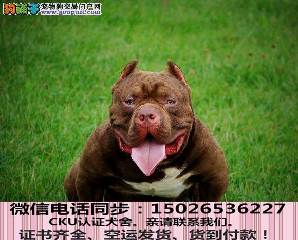 实拍现货视频一美国恶霸幼犬保健康保纯种签购犬协议
