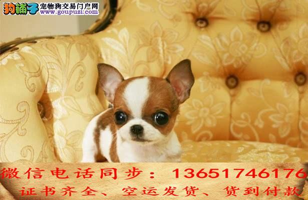 全国送货上门 吉娃娃幼犬保健康保纯种签售后协议