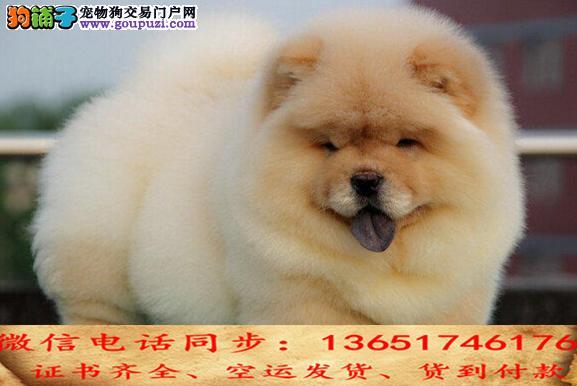 全国送货上门 松狮幼犬保健康保纯种签售后协议