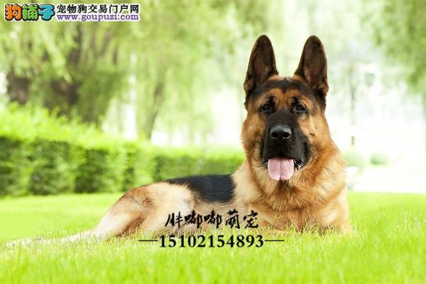 德牧纯种出售黑脸幼犬全国发货