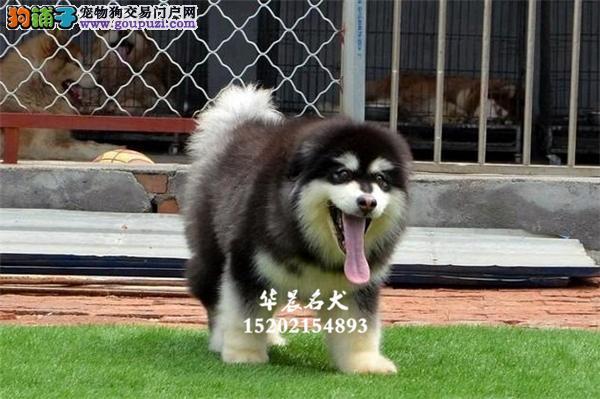 赛级巨型高品质的精品 阿拉斯加幼犬出售 全国发货