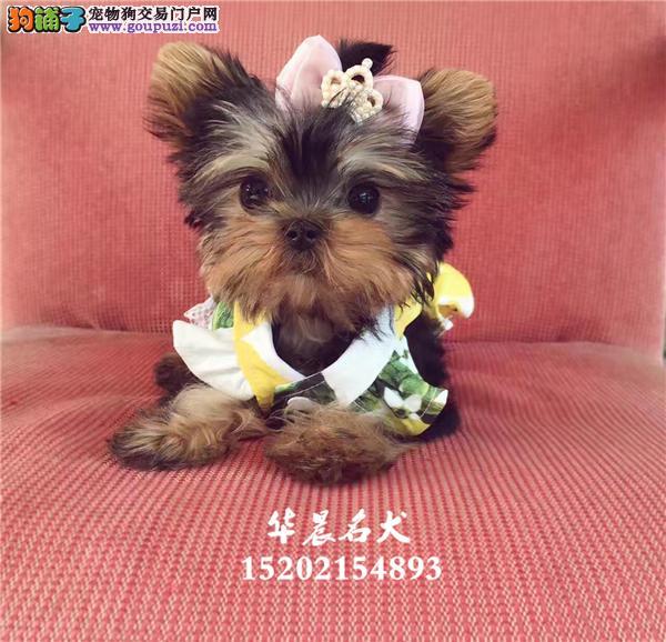 哈尔滨市约克夏精品迷你幼犬带证书全国发货