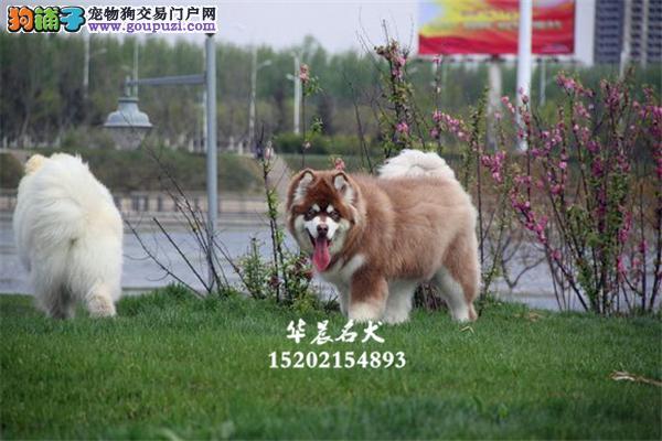 南昌市阿拉斯加小狗狗包纯种双血统全国发货