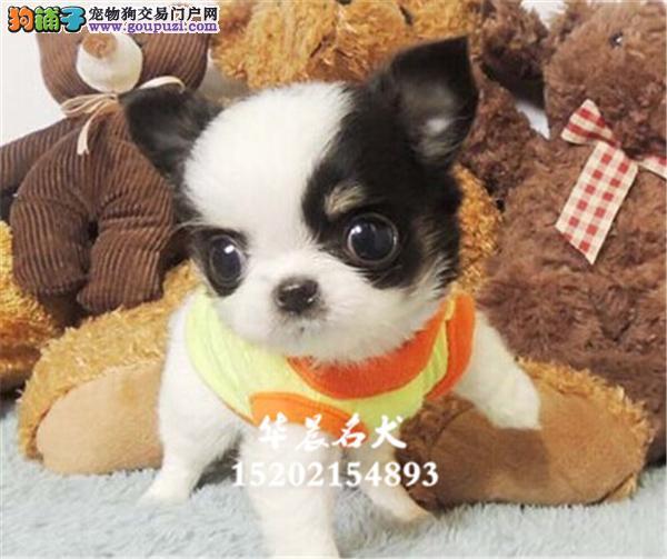 南昌市犬舍吉娃娃三个月全国包运全国发货