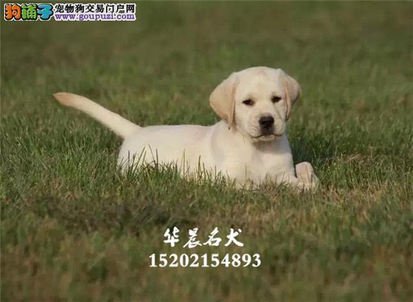 神犬小七同款拉布拉多 精品大骨架厚嘴 导盲犬