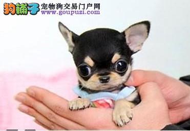 养殖基地出售苹果头大眼睛茶杯体吉娃娃幼犬 颜色齐全