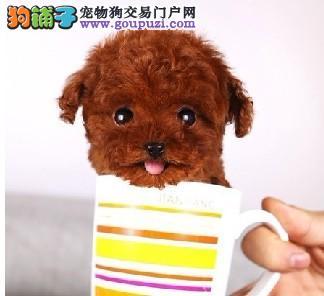韩国引进茶杯泰迪、假一罚万、签合同、全部实物拍摄
