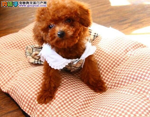 茶杯泰迪犬 玩具泰迪 种公外配 京津冀支持送货上门