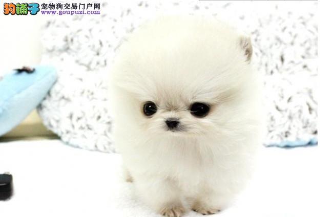 纯种超小体球型博美犬 俊介幼犬、可上门挑选 可送货