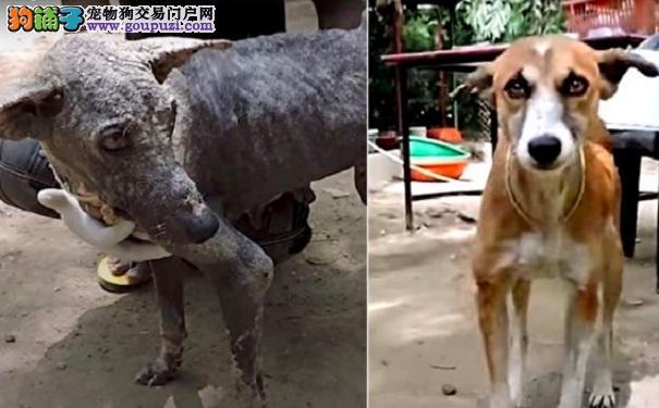 """好心人救了一只""""石头狗"""" 没想到2个月后它变成小可爱"""
