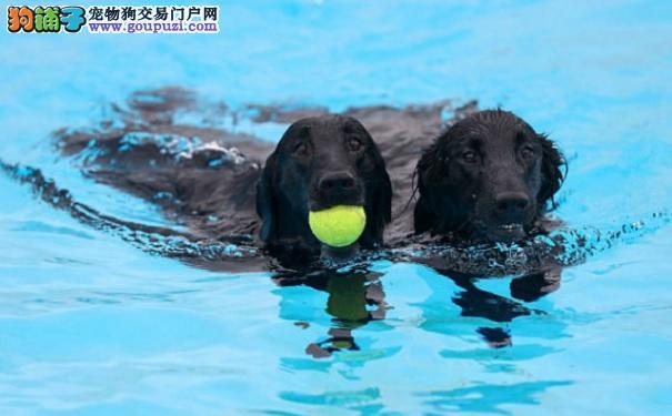 英露天泳池为狗狗开放 水中嬉戏模样萌翻天5