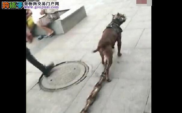 大热天街上练狗, 路人: 这铁链至少20斤
