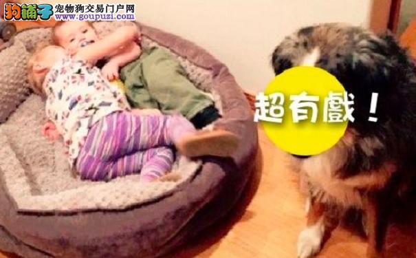 狗发现舒适的大床被占走 眼神笑翻一堆网友