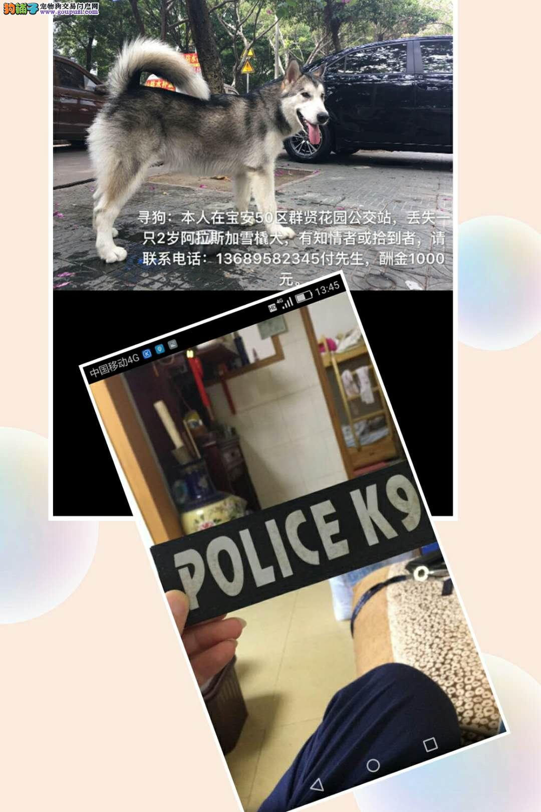 深圳宝安区群贤花园公交站寻找阿拉斯加
