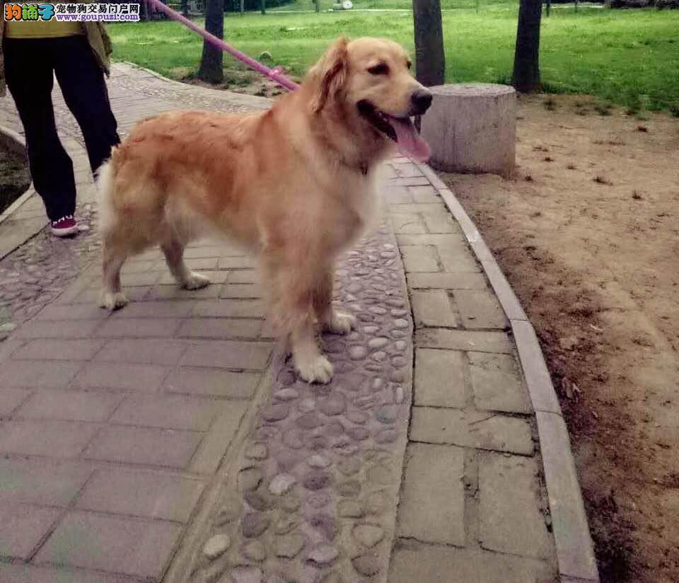 长安区郭杜镇森林公园往邓店村酬谢五千元寻找金毛