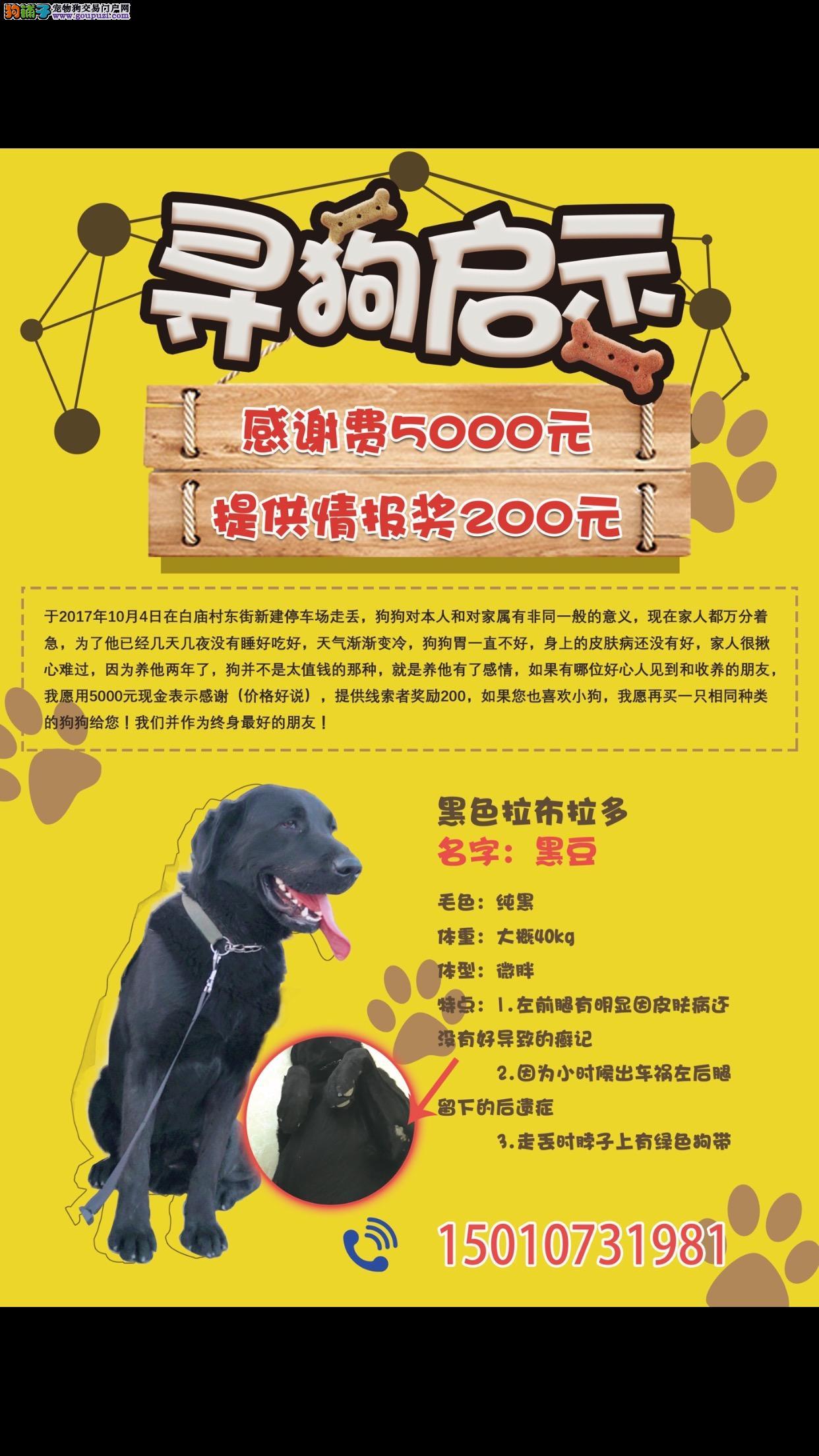 北京市昌平区北七家镇白庙东街酬谢五千元寻找拉布拉多