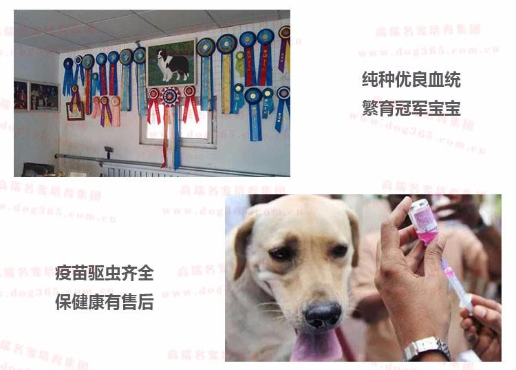 南昌狗场出售疫苗驱虫齐全的吉娃娃幼犬 放心选购幼犬