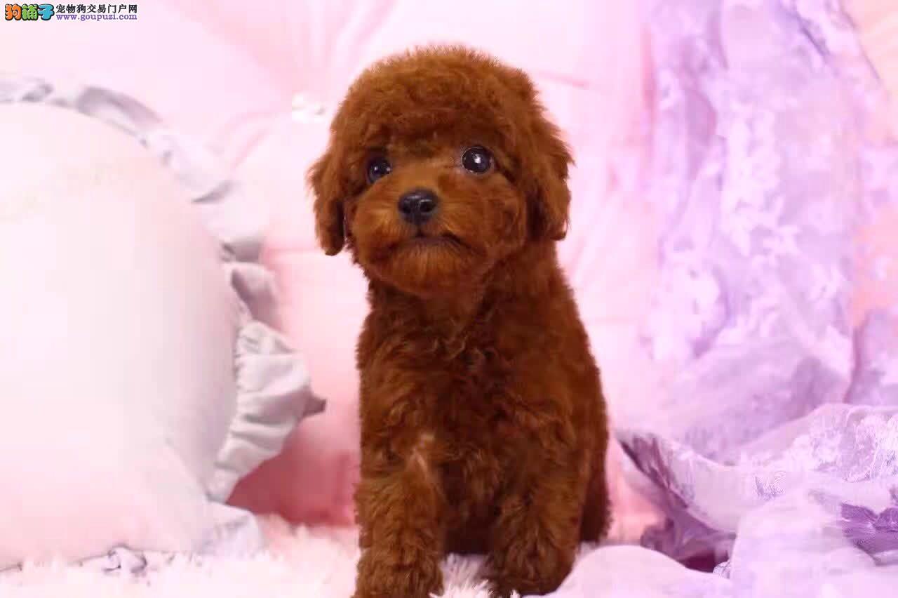 出售高品质泰迪熊犬、赛级血统、品相纯正、可签协议书3