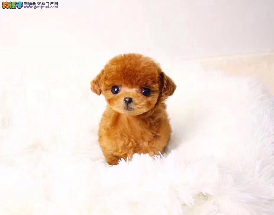 出售高品质泰迪熊犬、赛级血统、品相纯正、可签协议书4