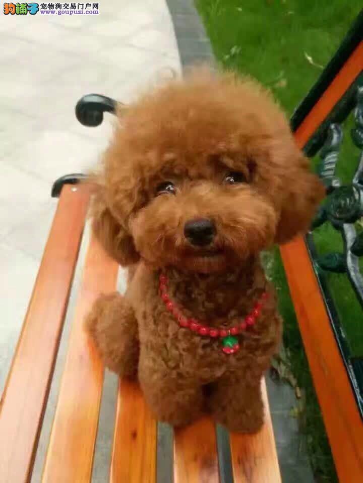 出售高品质泰迪熊犬、赛级血统、品相纯正、可签协议书1