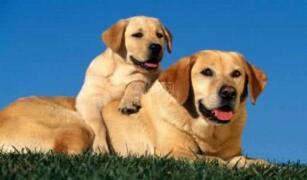 神犬小七同款出售 纯种拉布拉多多少钱
