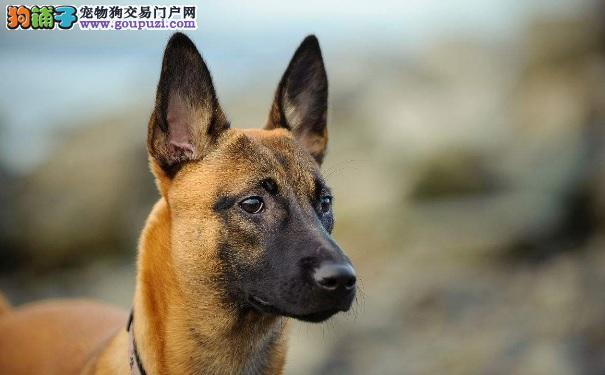 选购优质马犬幼犬的方法和注意事项