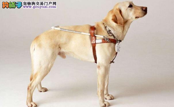 从1700万到160只,我们必须为导盲犬而战