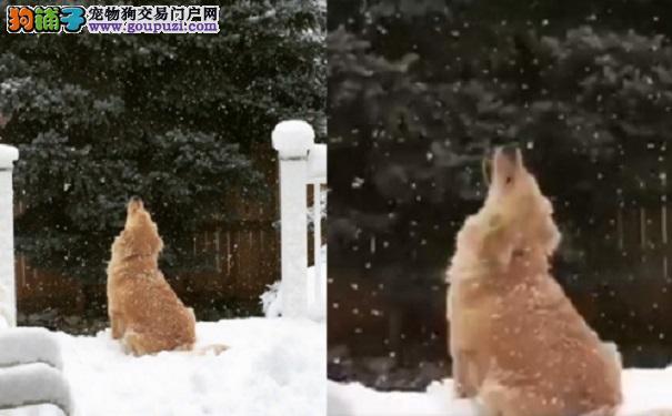 狗生的第一场雪!呆萌金毛张大嘴巴吃雪花