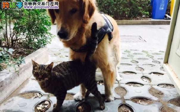 有爱!金毛瞒着主人收养流浪猫 把自己都饿瘦了
