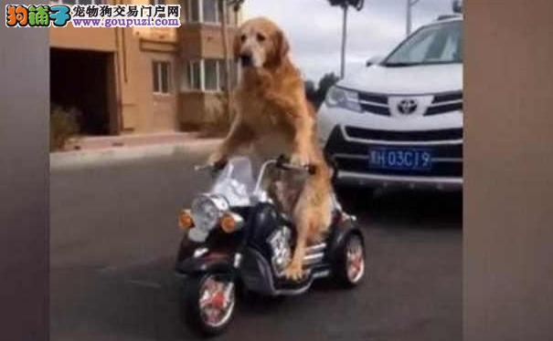 金毛犬骑玩具车上街 撞了车还耍无赖