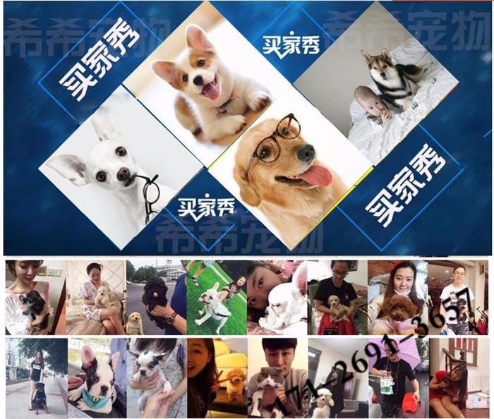 廊坊出售博美犬公母都有品质一流全国十佳犬舍