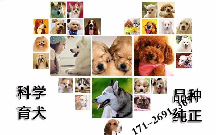 金毛廊坊CKU认证犬舍自繁自销欢迎您的光临