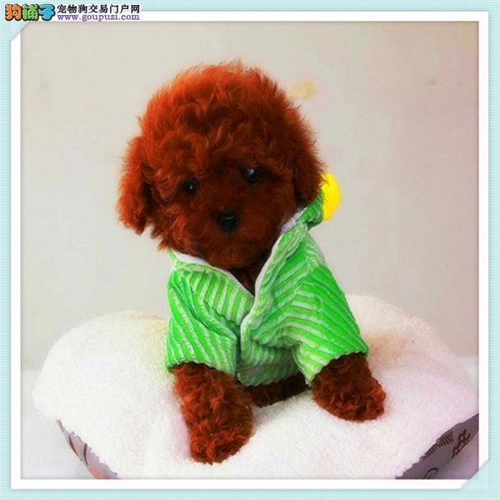 犬舍出售纯种泰迪包纯种健康
