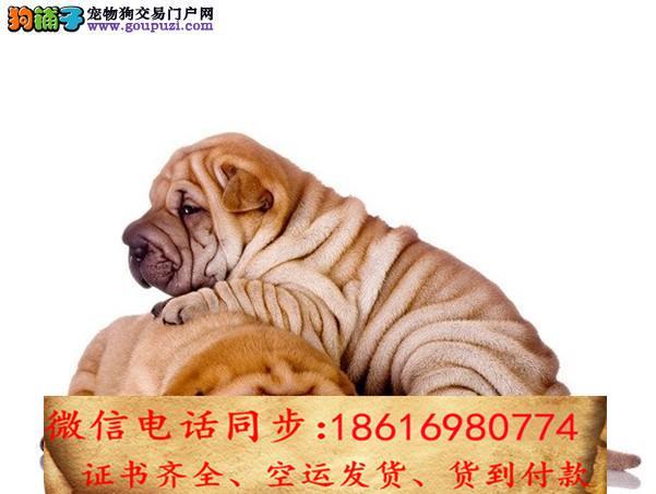CKU认证犬舍 专业繁殖 沙皮幼犬 购买有保证