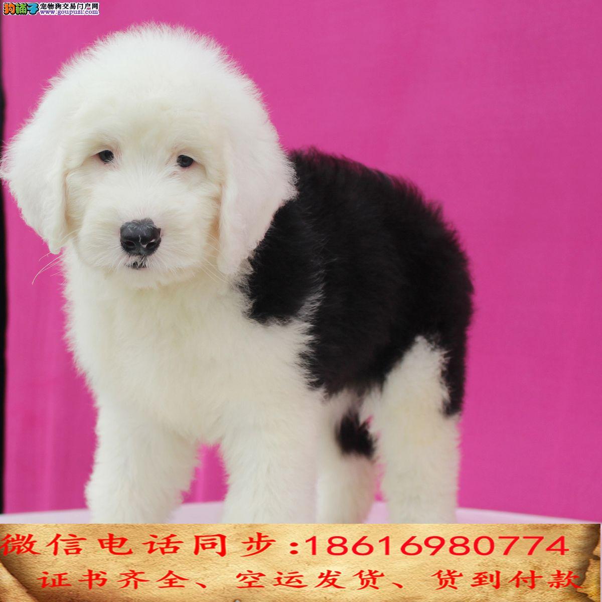 CKU认证犬舍 专业繁殖 古牧幼犬 购买有保证