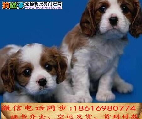 CKU认证犬舍 专业繁殖 可卡幼犬 购买保证