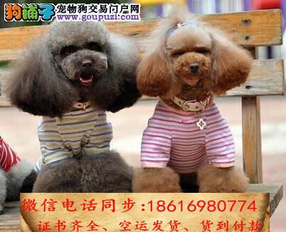 CKU认证犬舍 专业繁殖 贵宾幼犬 购买有保证