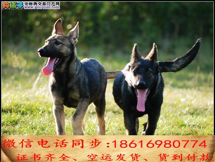 纯种昆明犬包养活可上门当天发货签订协议2