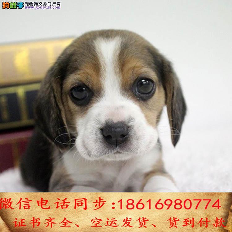 纯种比格犬包养活可上门当天发货签订协议