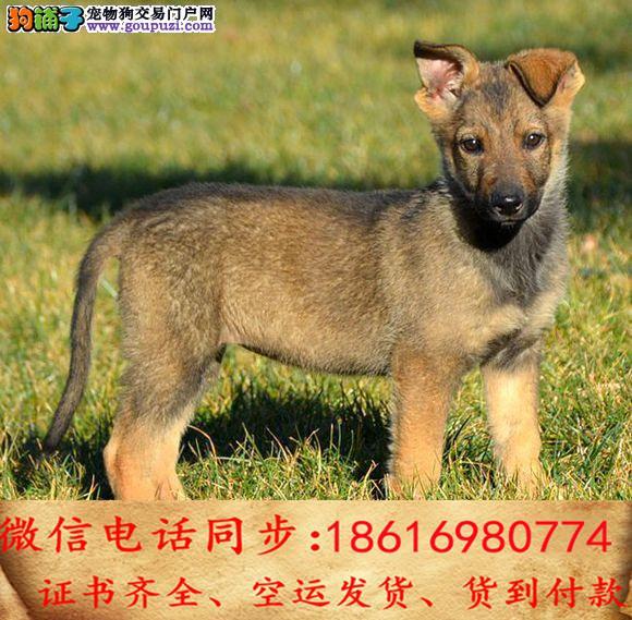 纯种昆明犬包养活可上门当天发货签订协议4