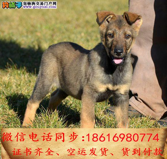 纯种昆明犬包养活可上门当天发货签订协议3