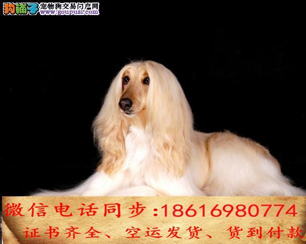 纯种可实地挑选当天发货送上门 专业繁殖阿富汗猎犬