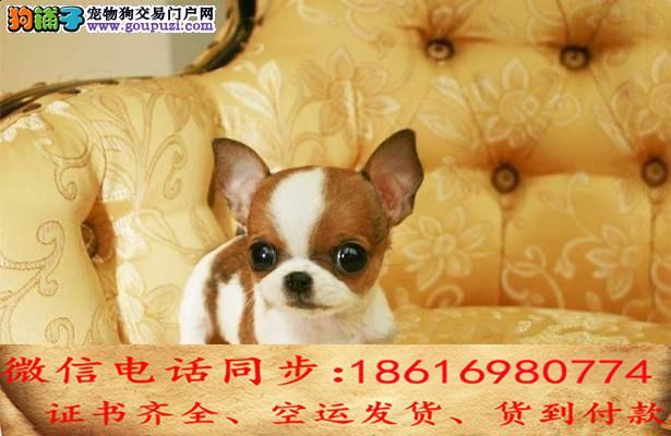 顶级繁殖基地引进名贵种公繁殖更优秀的吉娃娃 幼犬