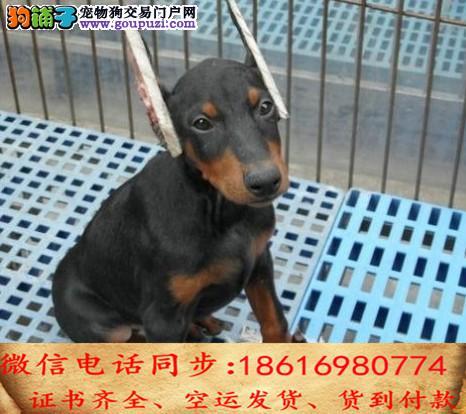 出售纯种杜宾 犬幼犬全国发货签订协议