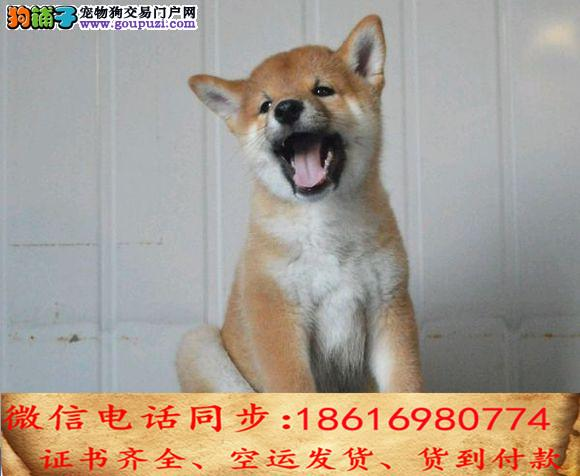 出售纯种柴犬 犬幼犬全国发货签订协议